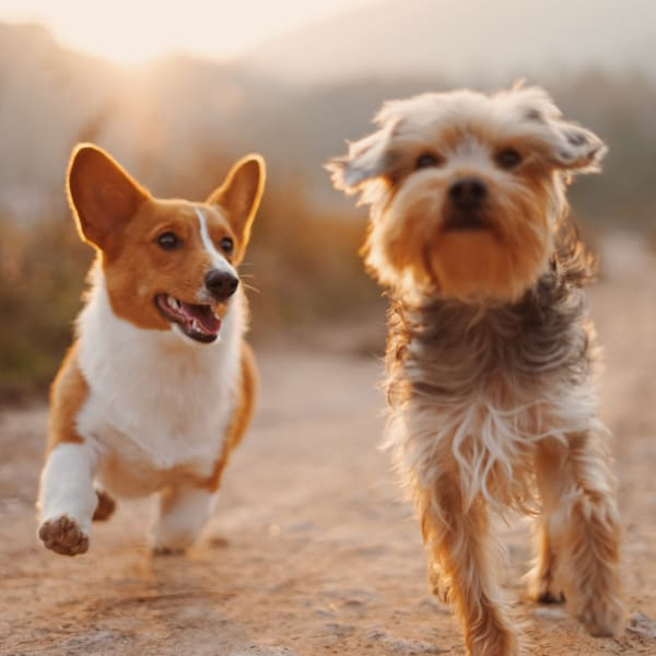 Two small dogs excited about pet friendly apartments at The Grove at Orenco Station in Hillsboro, Oregon